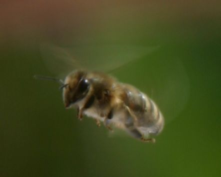 A Honey Bee in flight